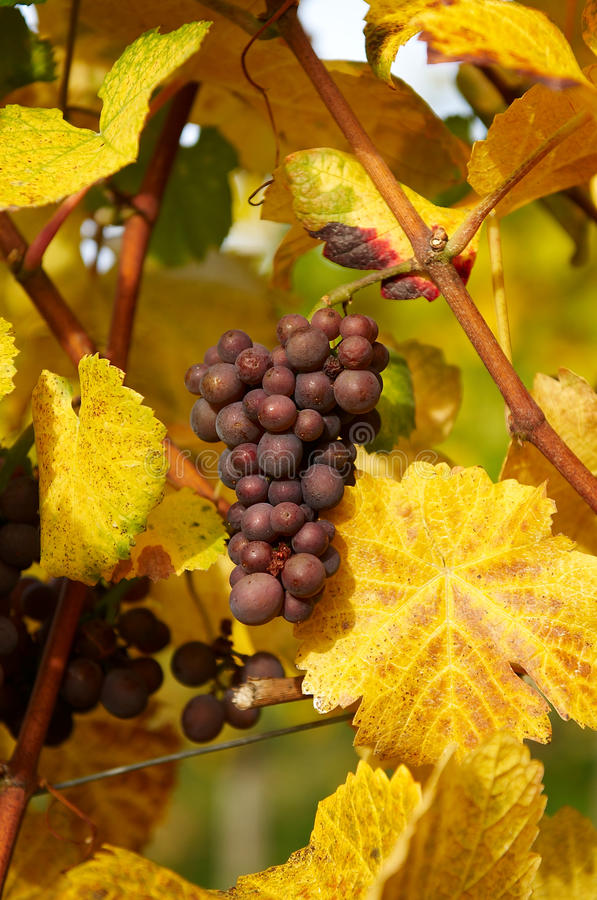 Download Bunch of grapes stock image. Image of close, natural - 26918717