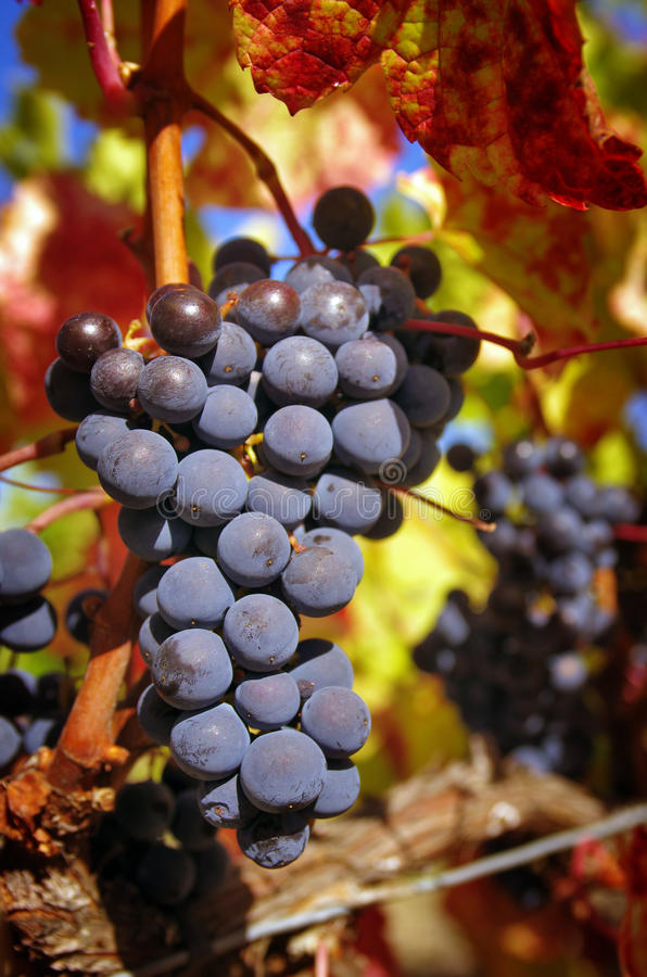Download Bunch of Grapes stock photo. Image of outdoor, colorful - 27202404