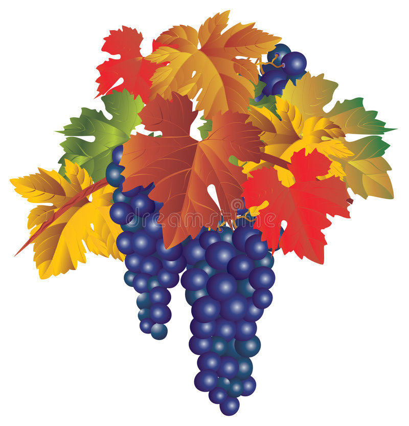 Bunch of grapes vector illustration