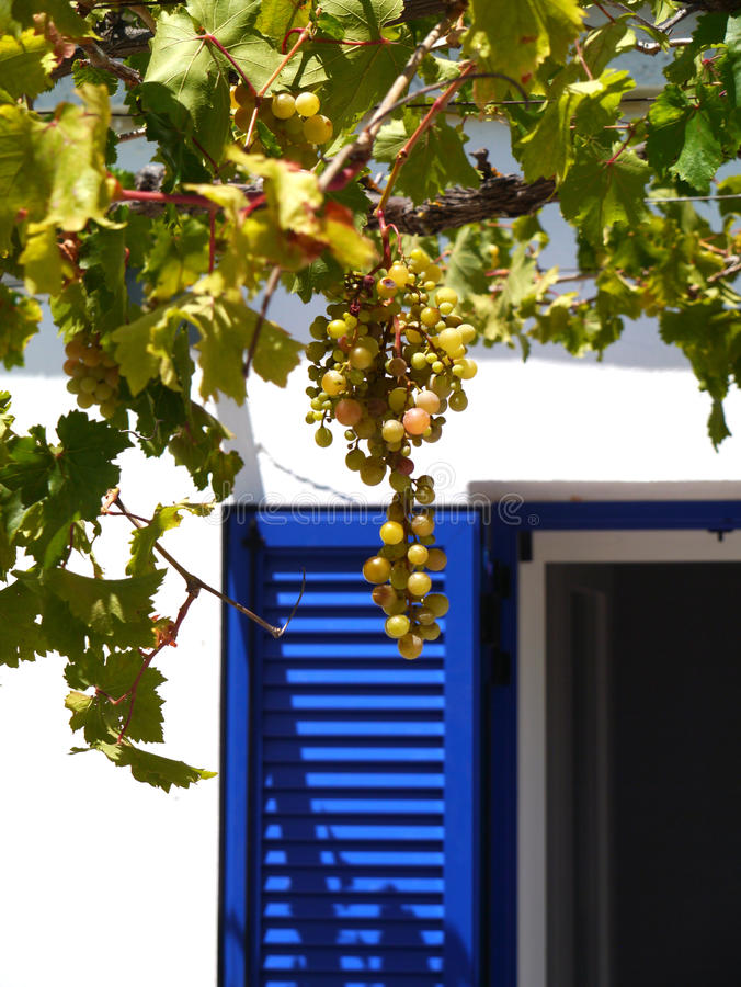 A bunch of grapes and a blue shutter. Against a white wall and open dark window royalty free stock photography