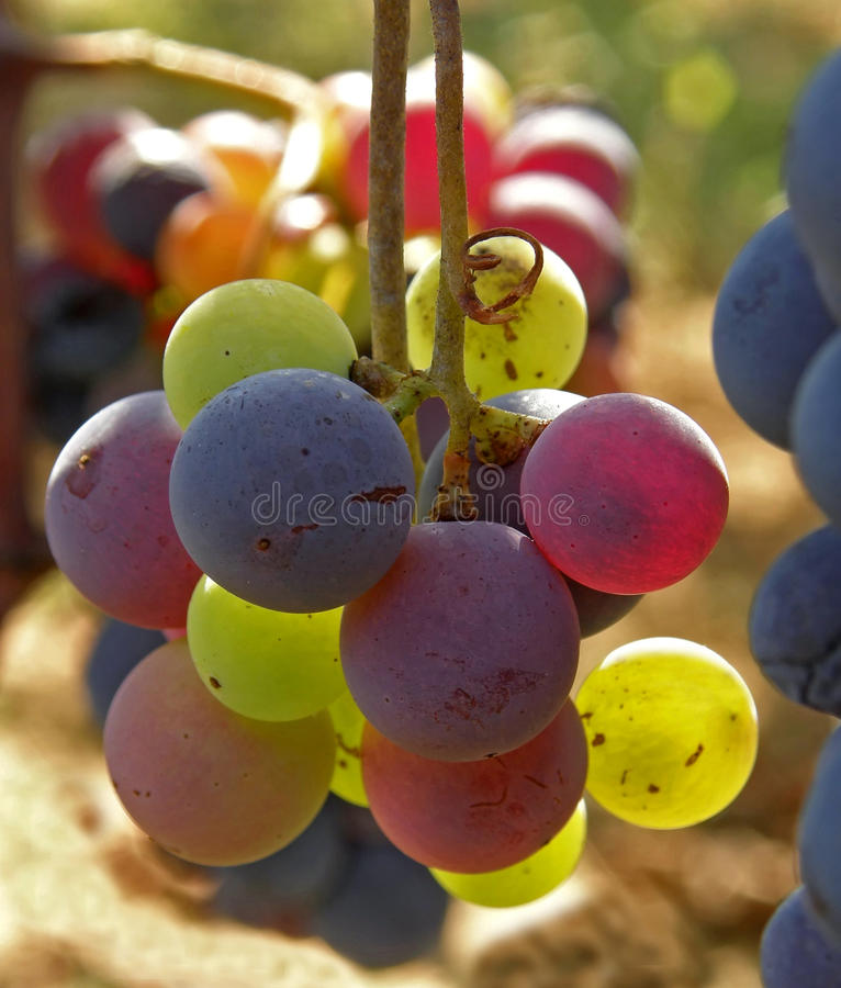 Bunch Of Grapes In Different Color Stock Photo