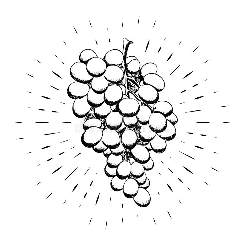 Bunch of grapes drawn by hand, black outline on the background of linear rays. Calligraphy. For design of posters, banners, logos. stock illustration