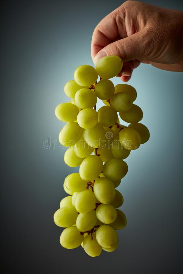 Bunch of grapes. Bunch of green grapes in human hand stock photo