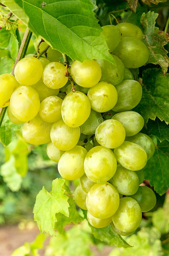 Bunch of grapes hanging from the vineyard. Bunch of white grapes hanging from the vineyard stock photo