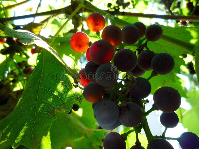 A bunch of grapes on a summer morning stock photos