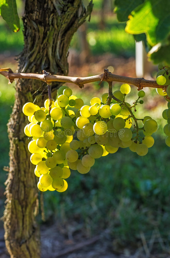 Download Bunch of grapes on a vine stock photo. Image of grapevine - 26517048