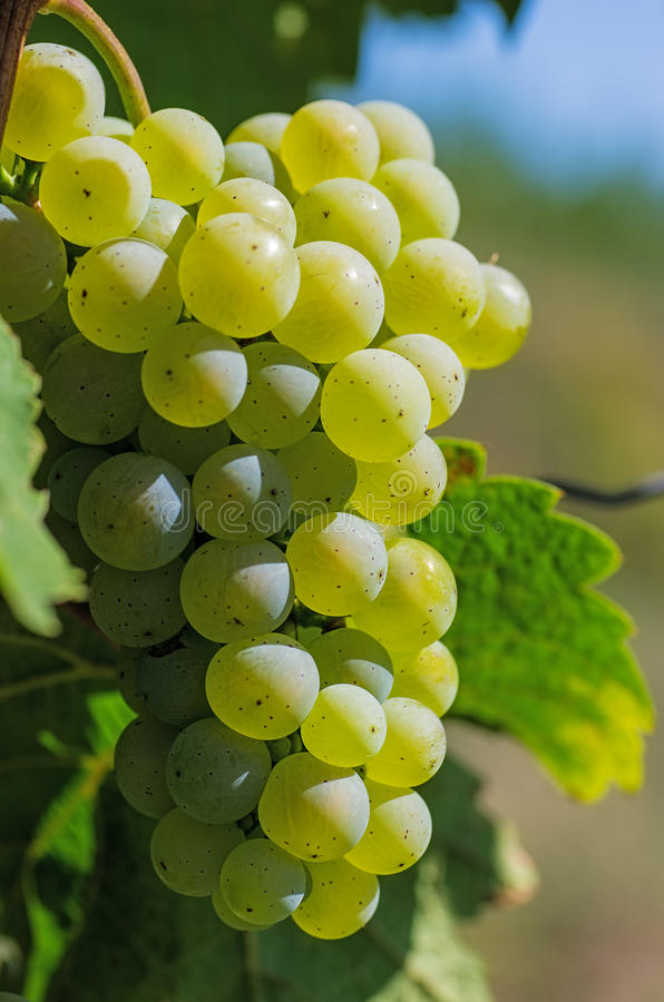 Download Bunch of grapes on a vine stock image. Image of agriculture - 26517099
