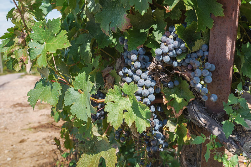 Bunch of grapes on the vine royalty free stock photos
