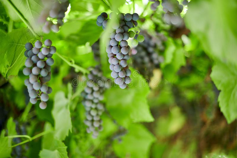 Bunch of grapes on vineyard. Table red grape with green vine leaves at sunny september day. Autumn harvest of grapes for making royalty free stock photo