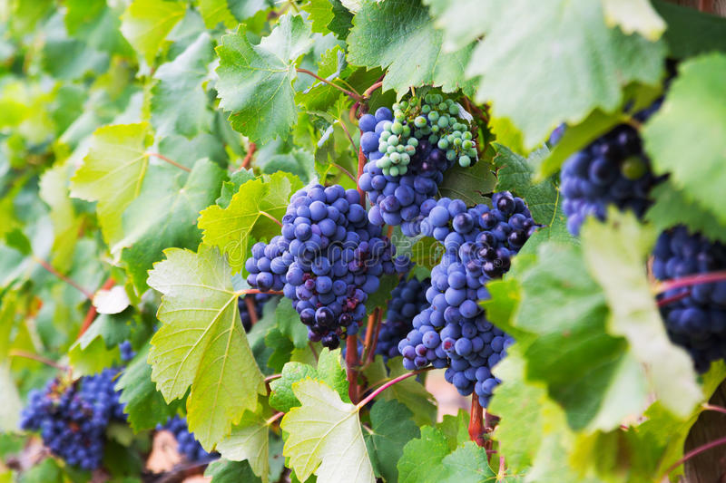 Bunch of grapes at vineyards plant stock image