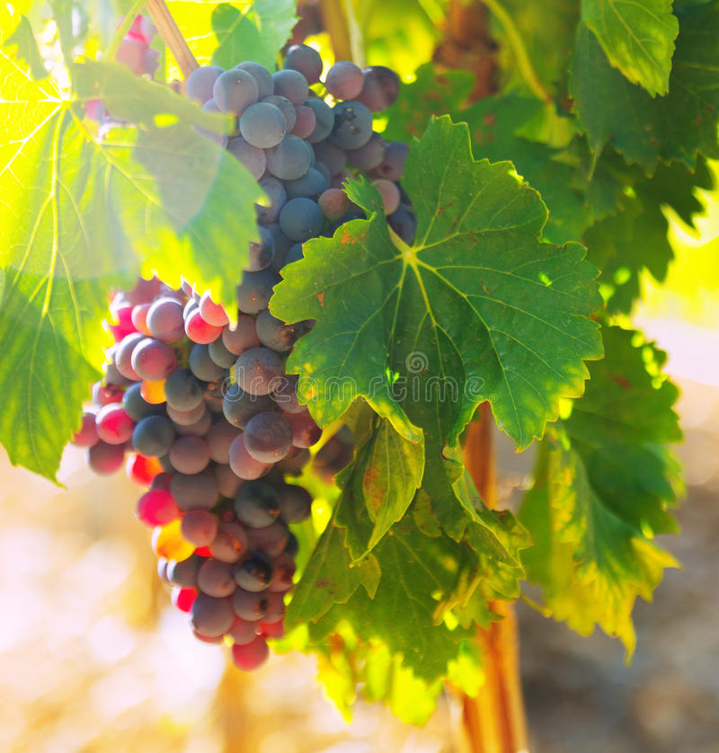 Bunch of grapes at vineyards plant royalty free stock photo