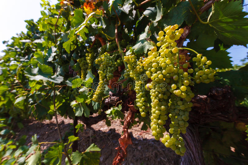 The bunch of grapes at vineyards royalty free stock photography