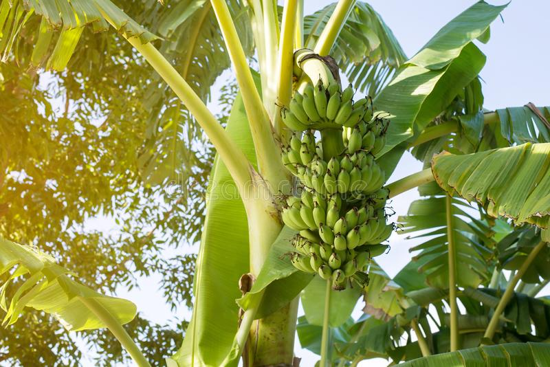 Bunch of green banana on tree and leave,Fresh fruit in garden. Bunch of green banana on tree and leave,Fresh fruit at garden stock photo