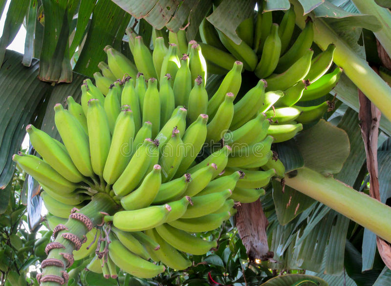 Bunch of green bananas. Growing in tropics on a palm tree in the wild or in a farm stock photography