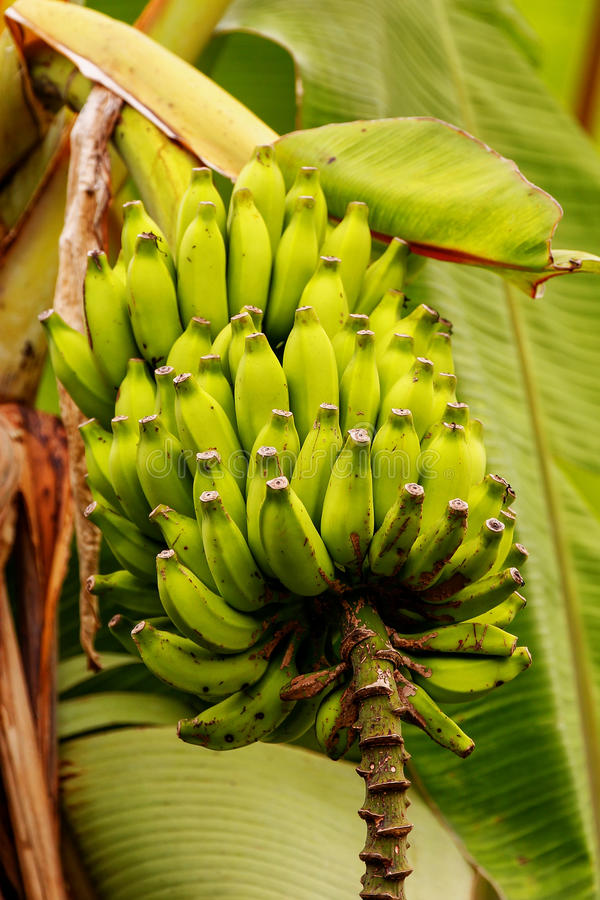 Bunch of green bananas on a tree stock image