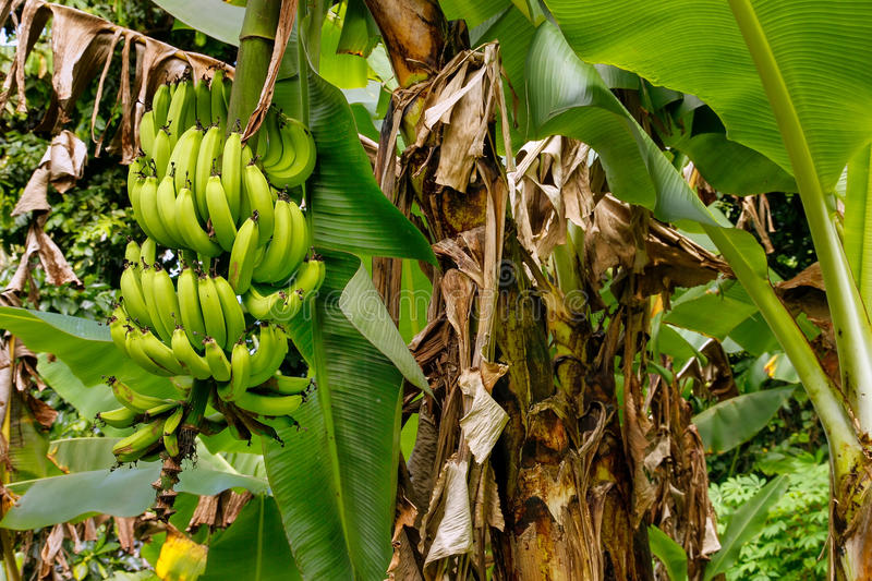 Bunch of green bananas on a tree royalty free stock photography