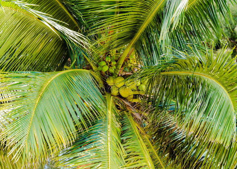 Download Bunch Of Green Coconuts In Palm Tree Stock Image - Image: 42689349