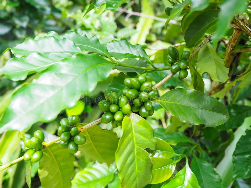 Bunch of green coffee beans and leaves royalty free stock images