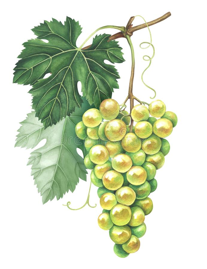 Bunch of green grapes isolated on white background. Hand drawn watercolor illustration. stock illustration