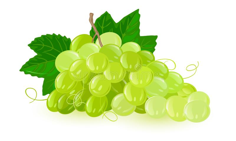 Bunch of green grapes with leaves. Fruit with sweet or sour flavour. vector illustration
