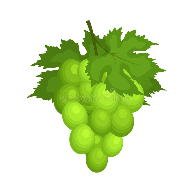 Bunch of green grapes with leaves isolated on white backgrond. Grape icon in flat cartoon style. Fresh berry, raw vector illustration