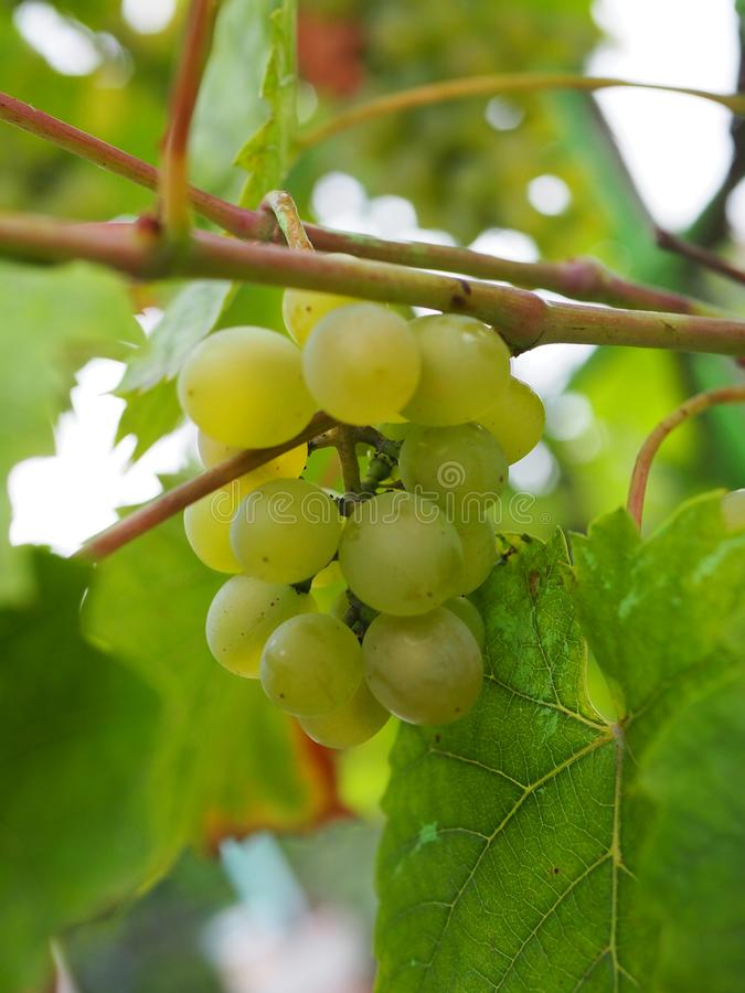 Bunch of green grapes on the vine. Ripe grapes on vine hanging down portrait royalty free stock photography