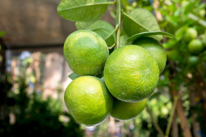 Bunch of green lemon on tree in a garden stock images