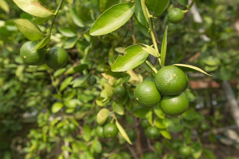 Green lemons on a lemon tree branch in garden. stock images