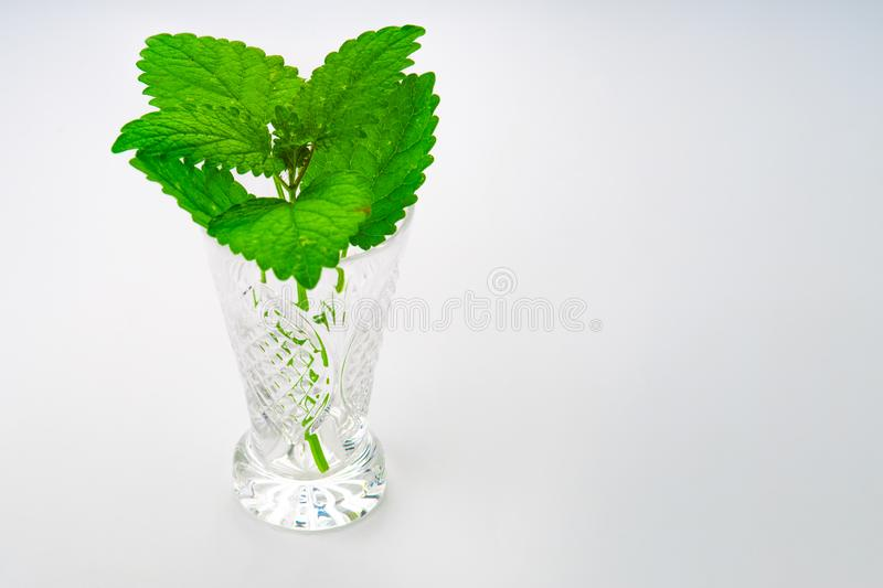 Bunch of green mint leaves. In the glass on white background royalty free stock photography