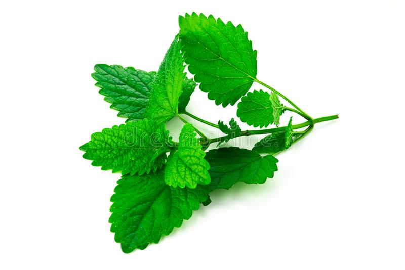 Bunch of green mint leaves. On isolated white background stock photography