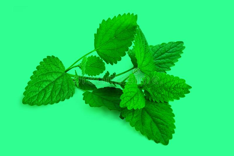 Bunch of green mint leaves. On isolated green background royalty free stock photography