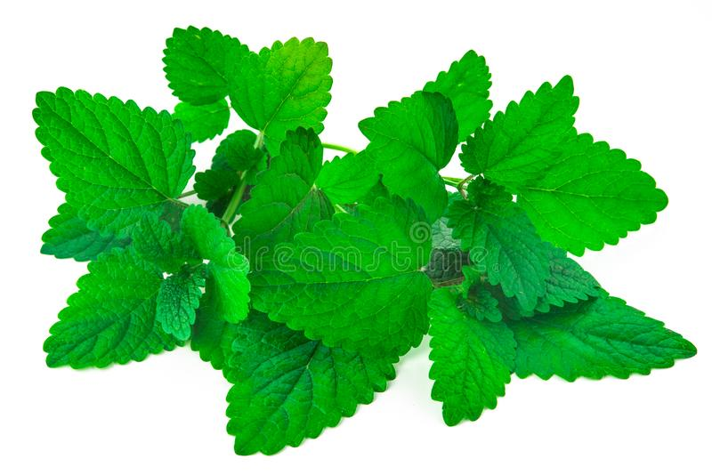 Bunch of green mint leaves. On isolated white background stock images