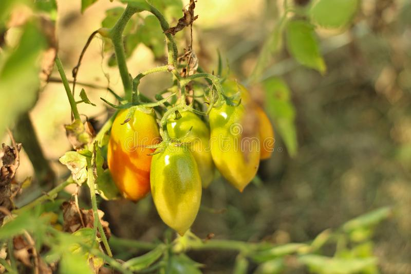 a bunch of green-orange-yellow unripe tomatoes hanging on a branch of a plant royalty free stock image