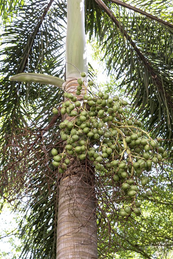 Bunch of green palm Fruit and leaf on palm tree in the park royalty free stock images