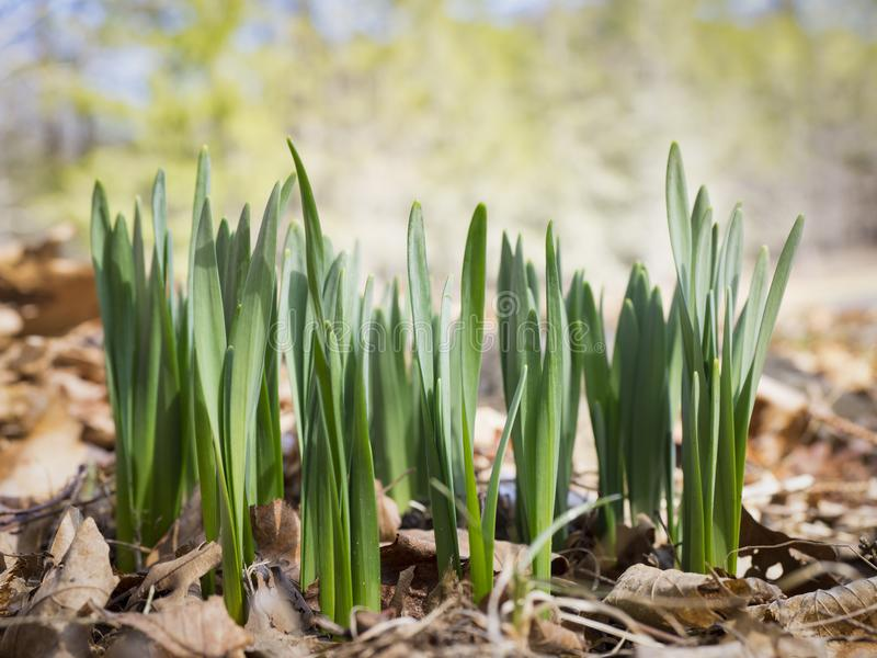 Emerging Daffodil Shoots in a Forest. A bunch of green shoots of emerging Daffodil plants on a forest floor stock images