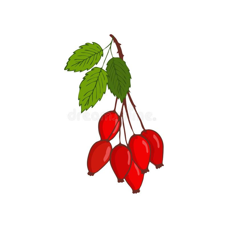 bunch of hip rose or rosehip. twig with berries and leaves. royalty free illustration