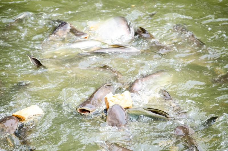 A bunch of Iridescent shark get feeding with pieces of bread in a canal water. royalty free stock photos