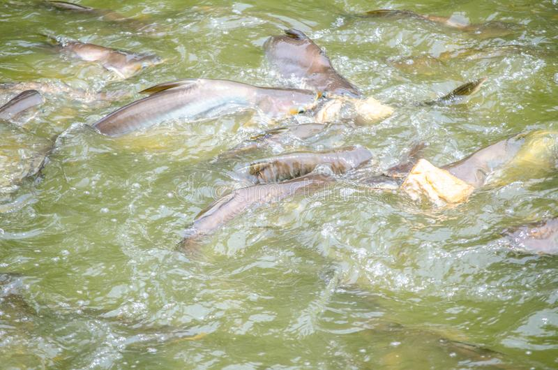 A bunch of Iridescent shark get feeding with pieces of bread in a canal water. stock images