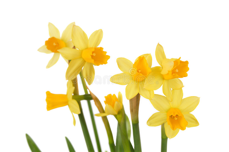 Bunch of isolated daffodils royalty free stock photo