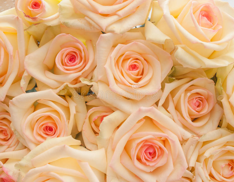 Bunch of ivory roses with pink center royalty free stock photography