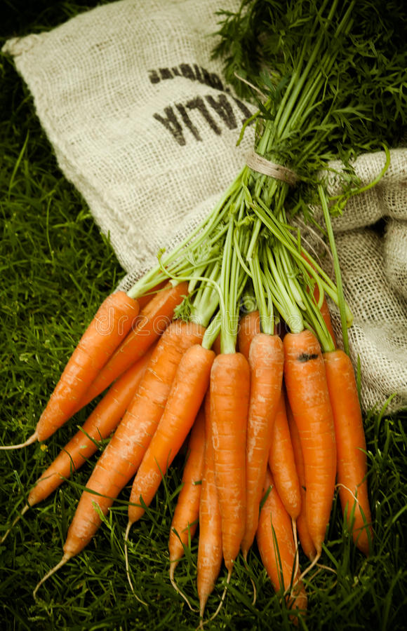 Bunch of just harvested fresh carrots on a sack royalty free stock images