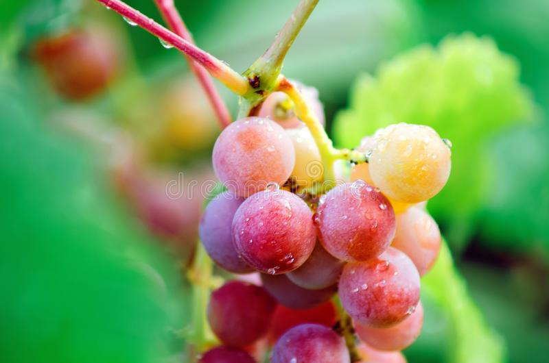 A bunch of large red grapes, close-up. stock photos