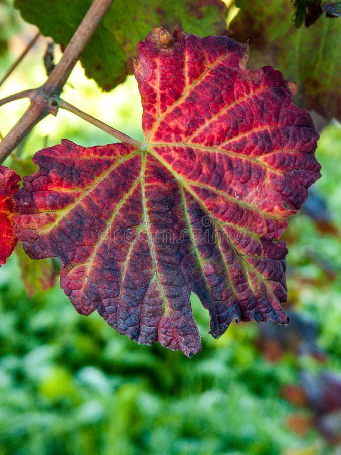 Leaf of grape cluster Lambrusco di Modena, Italy. Bunch and leaves of grape cluster lambrusco di modena, italy.  grape for  and winemaking  leaf rutal stock photography