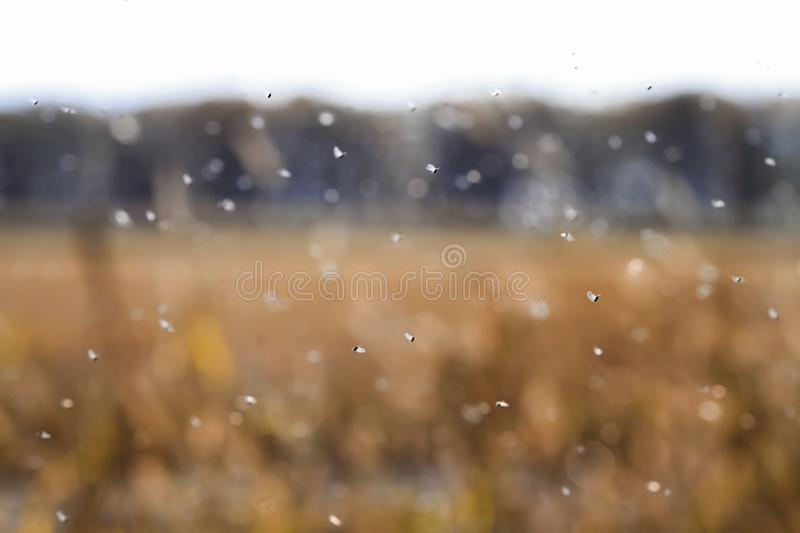 Bunch of little annoying bugs sweeps over the field in the air royalty free stock photography