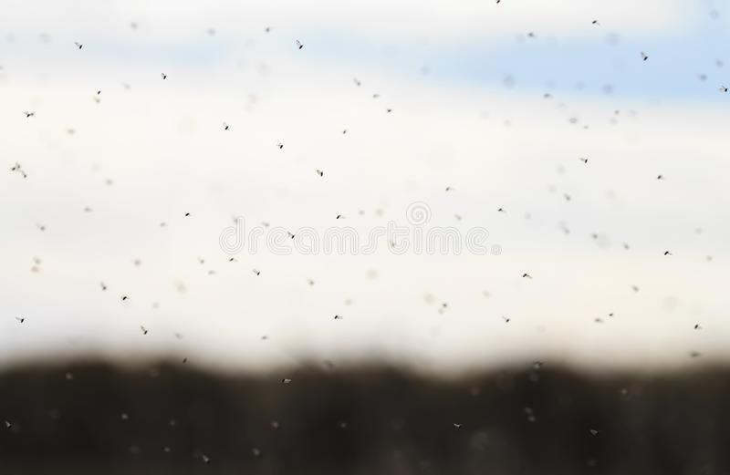 Bunch of little annoying bugs sweeps over the field in the air i royalty free stock photos