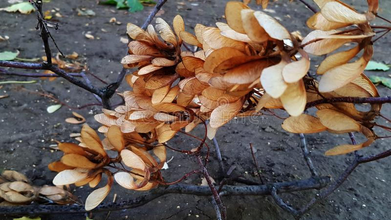 Bunch of lush maple seeds on big tree branch stock image