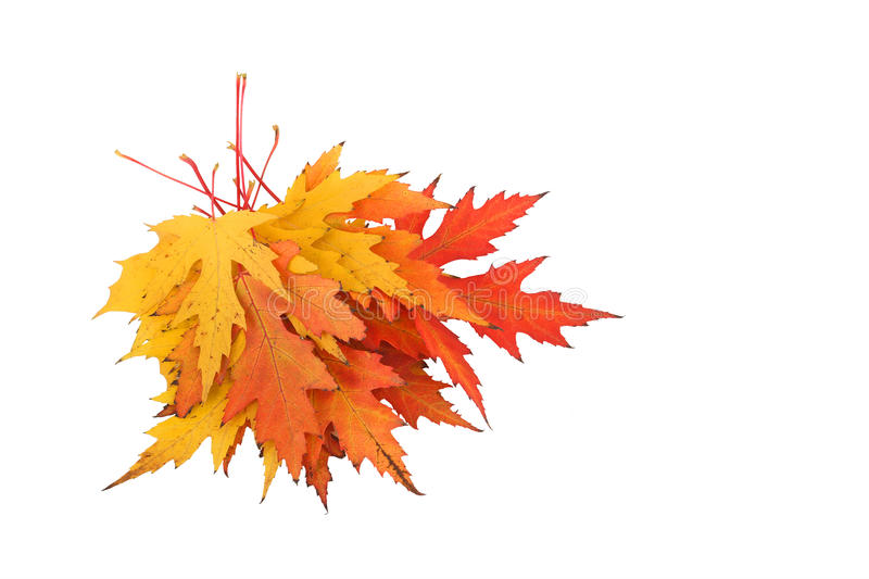 Bunch of maple leaves. stock photo