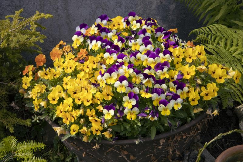 Bunch of miniature pansies in pot. Colorful blooming flowers composition. Backyard garden. Violas flower mixed. Viola Sorbet. Backyard flower decoration. Home stock image