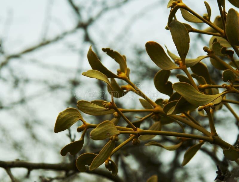 Bunch of mistletoe royalty free stock photos