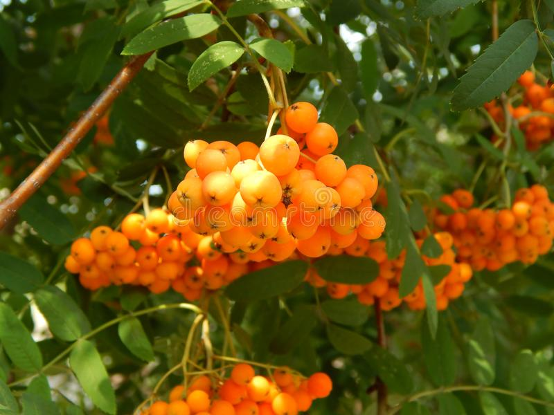 Bunch of mountain ash large hanging bunches on a branch stock image